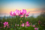 beautiful lotus flowers