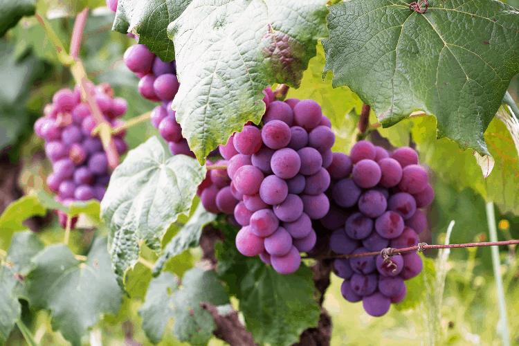 grapes - The True Vine symbolism